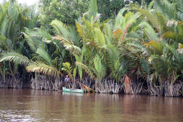 nipa palm Uchibanari island near iriomote island, okinawa, japan nipa palms (nypa  fruticans) are iconic tropical plants in the jungles of south east asia,.