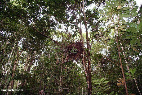 Orangutan nest in rainforest tree in Borneo (Kalimantan, Borneo - Indonesian Borneo)