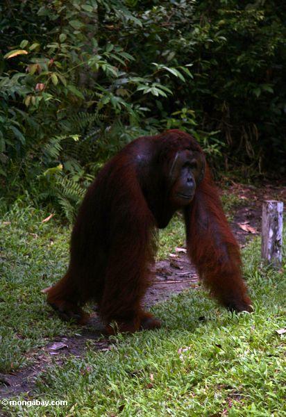 Orangutan Sumatera Adult Male Orangutan w...