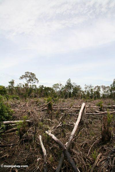 Slash-and-burn agriculture in the Borneo jungle (Kalimantan, Borneo - Indonesian Borneo)