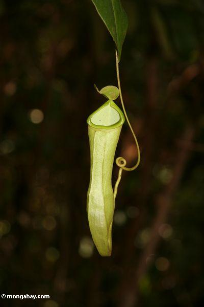 Pitcher plant, Nepenthes reinwardtiana, in rain forest of Borneo (Kalimantan, Borneo - Indonesian Borneo)
