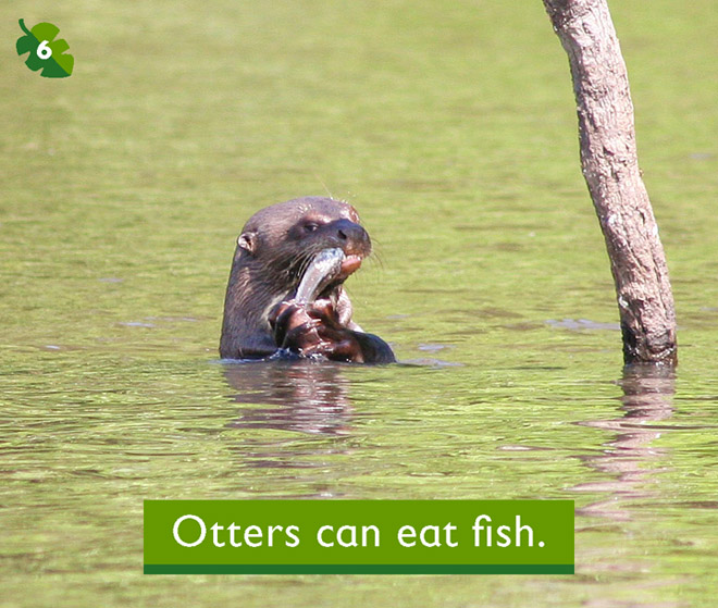Otters can eat fish for How do fish eat