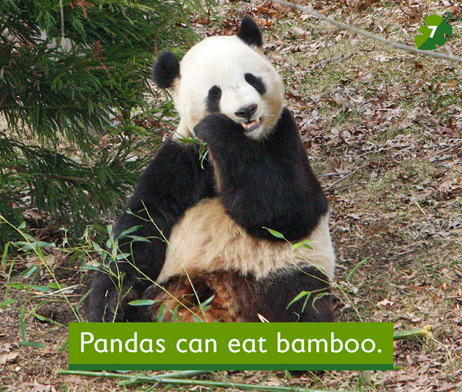 Pandas can eat bamboo for What can you do with bamboo