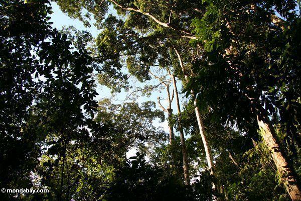 Rainforest canopy as seen from below