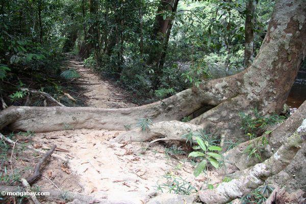 Long buttress root of rainforest tree