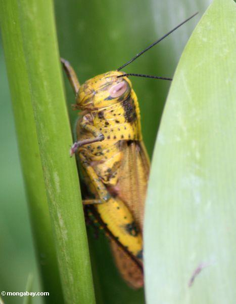 Large yellow grasshopper