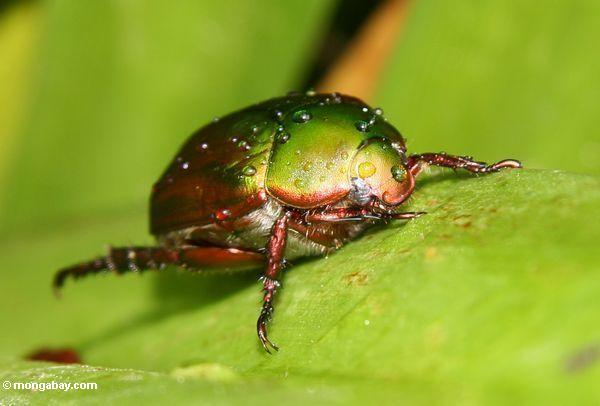 Metallic green, yellow, and copper colored beetle in Malaysia. Photo by Rhett A. Butler / mongabay.com.