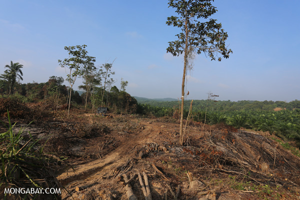Forest clearing in Riau for oil palm