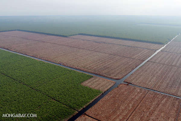 Acacia plantation in Riau Province, Indonesia.