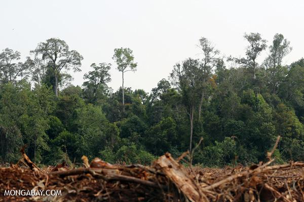 Acacia harvesting and rainforest in Sumatra.