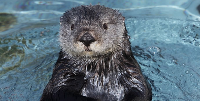 Gidget, a southern sea otter from the Monterey Bay Aquarium. Courtesy of the Monterey Bay Aquarium.
