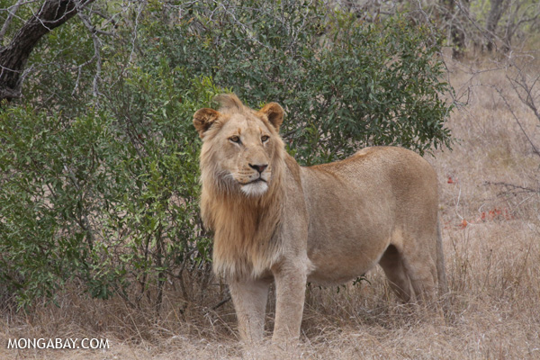 Male lion in Kruger National Park, South Africa. Most of the world's lions are now found in southern and eastern Africa. Photo by: Rhett A. Butler.