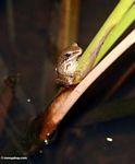 Brown frog on stem in Ubud (Ubud, Bali)