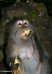 Long-tailed macaque eating a banana (Ubud, Bali) -- bali7947