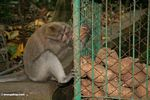 Male Long-tailed macaque eating a tuber out of a cage (Ubud, Bali)