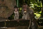 Male Long-tailed macaque with baby (Ubud, Bali)