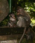 Male Long-tailed macaque with baby, eating tubers (Ubud, Bali)