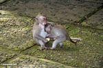 Macaques playing (Ubud, Bali) -- bali7992