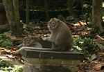 Long-tailed macaque (Macaca fascicularis) (Ubud, Bali) -- bali8014