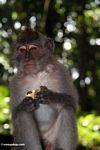Long-tailed macaque (Macaca fascicularis) (Ubud, Bali) -- bali8043