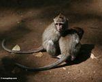 Long-tailed macaque (Macaca fascicularis) (Ubud, Bali) -- bali8050