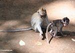 Mother macaque spanking a juvenile monkey (Ubud, Bali)