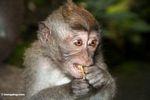 Young macaque eating a fruit (Ubud, Bali)