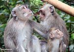 Macaque family grooming (Ubud, Bali)
