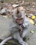 Young macaque with mohawk (Ubud, Bali)