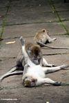 Crab-eating monkeys (Macaca fascicularis) grooming (Ubud, Bali)