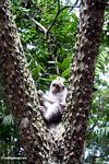 Long-tailed macaque monkey (Macaca fascicularis) in tree (Ubud, Bali)