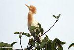 Petulu heron (Ubud, Bali) -- bali8322