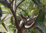White-gray bird in tree (Jimbaran, Bali