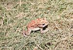 Red, yellow, white, and brown toad on grassy lawn in Bali (Jimbaran, Bali