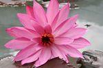 Pink lotus flower (Java)