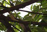 Green lizard (Bronchocela cristatella?) in a tree in Java (Java)