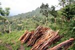 Fuelwood cut from the rain forest of Java (Java)