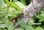 Green and brown grasshopper on a tree trunk (Java)