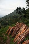 Fuel wood cut from the rainforest of Java (Java)