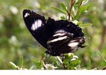 Black and white butterfly feeding (Kalimantan, Borneo - Indonesian Borneo)