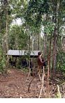 Ex-pet orangutan learning forest survival skills at the Orangutan Care Centre and Quarantine in Pangkalan (Kalimantan, Borneo - Indonesian Borneo) -- kali0036