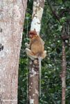 Female proboscis monkey looking back (Kalimantan, Borneo - Indonesian Borneo)