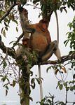 Large-nosed Male Proboscis Monkey with female (Kalimantan, Borneo - Indonesian Borneo)
