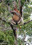 Male Proboscis Monkey wiping his large nose with his hand (Kalimantan, Borneo - Indonesian Borneo)