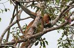 Adult male Proboscis Monkey in tree (Kalimantan, Borneo - Indonesian Borneo)