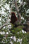 Red Leaf-monkey (Presbytis sp.) in Kalimantan (Kalimantan, Borneo - Indonesian Borneo)
