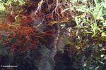 Blackwater swamp in Borneo (Kalimantan, Borneo - Indonesian Borneo)