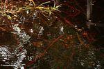 Blackwater swamp in Borneo (Kalimantan, Borneo - Indonesian Borneo) -- kali9213