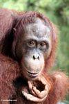 Rehabilitated orangutan pondering (Kalimantan, Borneo - Indonesian Borneo)