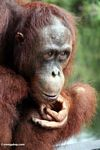 Rehabilitated orangutan lost in thought (Kalimantan, Borneo - Indonesian Borneo)
